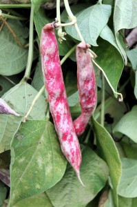 Teggia beans on the vine.