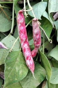 Teggia beans on the vine.